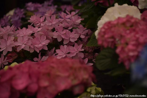0252 紫陽花を数枚