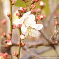 0014 梅が咲いておりました