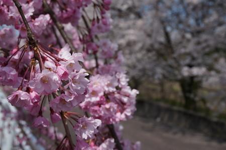 桜 ~魚津から~