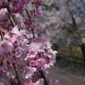 写真: 桜 ~魚津から~