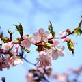 写真: 発寒川緑地の桜3