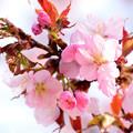 写真: 季節外れの桜1