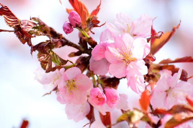 季節外れの桜2