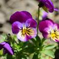 Photos: 春の庭7