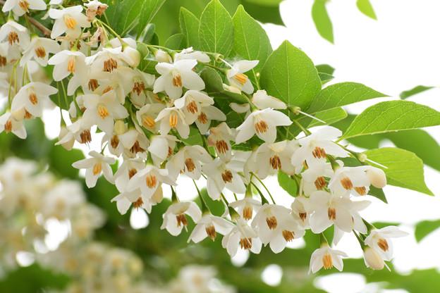 Photos: 庭に咲くエゴノキ2