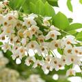 庭に咲くエゴノキ2