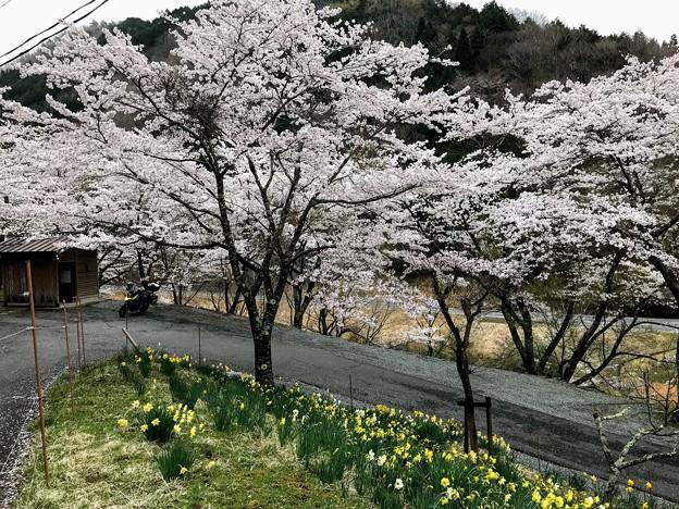 ふれあい広場の桜と水仙