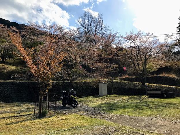 畑ケサカ桜公園の桜は・・・