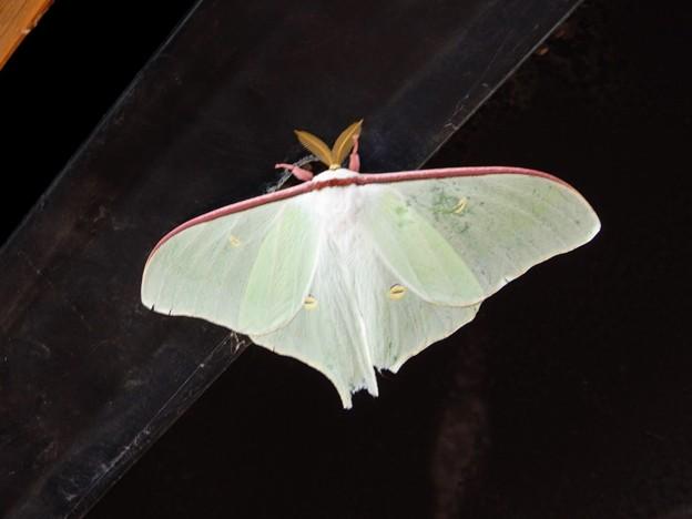 図鑑で見た事ある美しい蛾