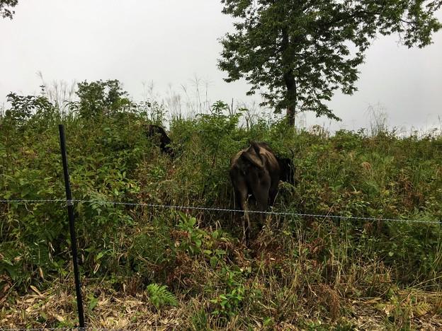 上山高原で放牧されている牛