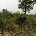 写真: 上山高原で放牧されている牛