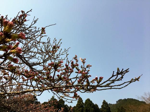 キャンプ場の桜はまだ蕾