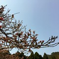 Photos: キャンプ場の桜はまだ蕾