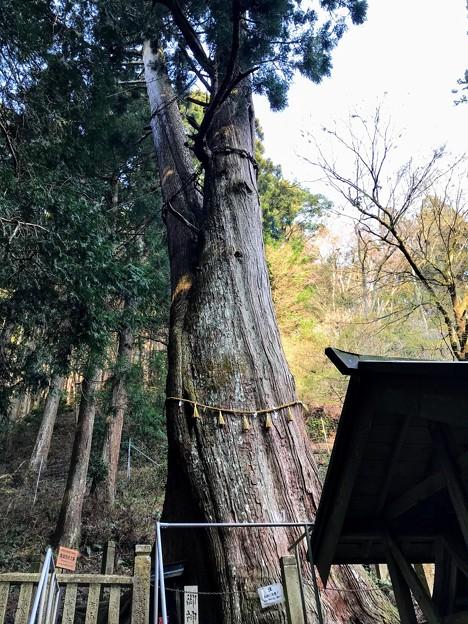 樹齢1000年の夫婦杉