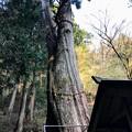 Photos: 樹齢1000年の夫婦杉