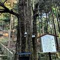 Photos: 乳の木