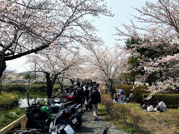 Photos: 篠山城の桜