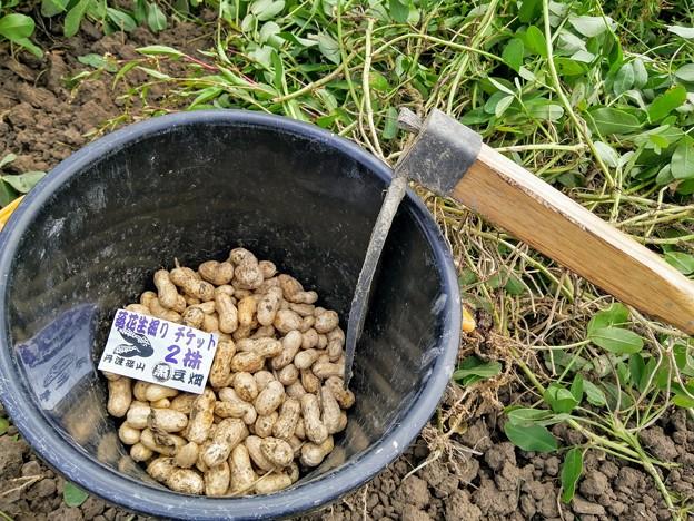 落花生 2株の収穫