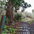 Photos: 古千本杉