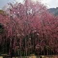 Photos: 八木のしだれ梅