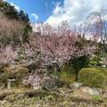 Photos: 前光寺で一番咲いていた桜