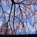 蔵沢寺のしだれ桜
