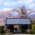 蔵沢寺 桜の後ろには中央アルプス