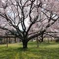 大草城址公園の桜