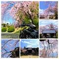 Photos: 蔵沢寺のしだれ桜