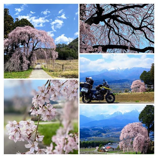 吉瀬の枝垂桜