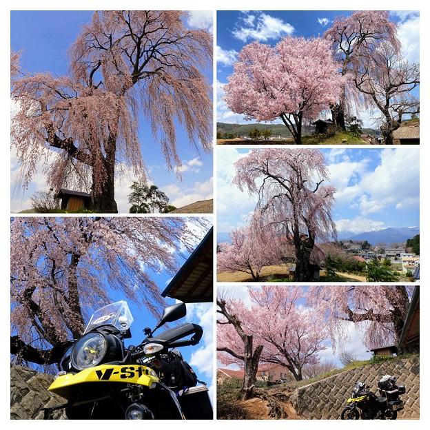 栗林の一本桜