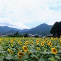 Photos: 山南町ひまわり畑