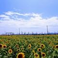 ひまわりの丘公園のひまわり畑