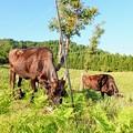 ひたすら食べている牛たち