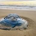 Photos: 浜に上がったエチゼンクラゲ