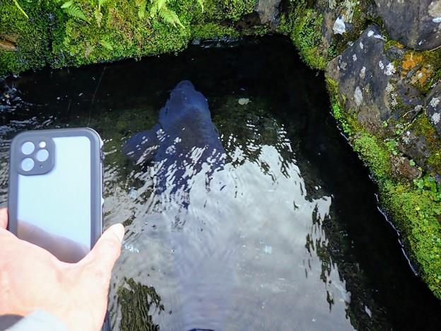 iPhoneと鯉の比較