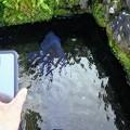 Photos: iPhoneと鯉の比較