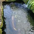 Photos: 巨大な鯉