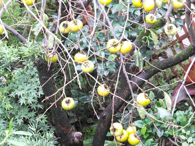 我が家の庭の柿 (3)