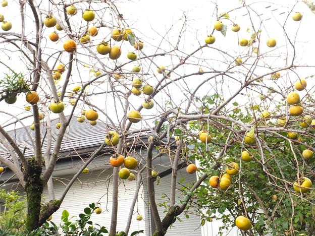 我が家の庭の柿 (5)