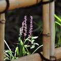 写真: 竹垣の中に