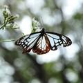 写真: アサギマダラ 翅に傷みが・・・