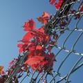 写真: 金網の蔦?紅葉