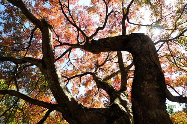 見上げて~ 中山道大湫宿 紅葉大樹
