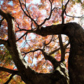 写真: 見上げて~ 中山道大湫宿 紅葉大樹
