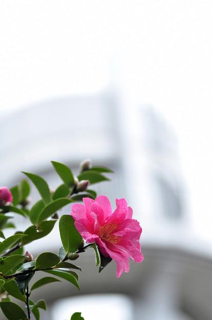 雨の山茶花