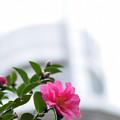 写真: 雨の山茶花