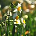 写真: 輝く水仙花