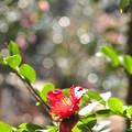 写真: 竜紅という名の椿