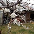 Photos: 李(すもも)の花